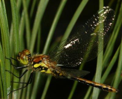 dragonfly - Sympetrum danae