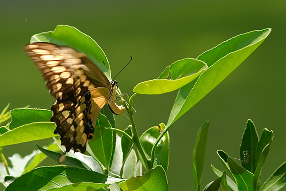 Female Giant Swallowtail - Papilio cresphontes - female