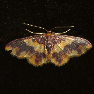 Stained Lophosis Moth - Hodges #7181 - Lophosis labeculata - female