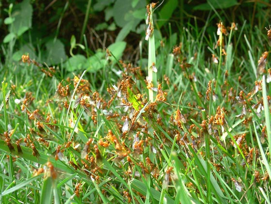 What are these orange ants? - Lasius interjectus