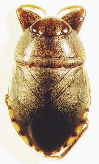 Pelocoris balius (Hemiptera: Naucoridae) - Pelocoris balius - female