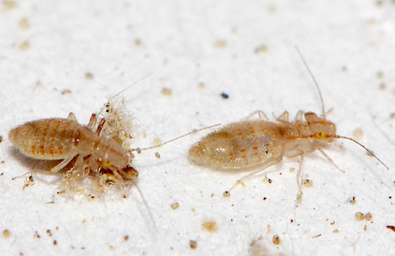 Are Bird Mites And Bed Bugs The Same
