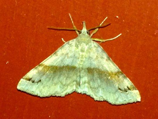 Spargaloma sexpunctata - Six-spotted Gray - Spargaloma sexpunctata