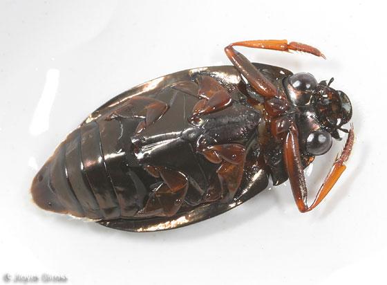 Whirligig Beetle - Dineutus assimilis