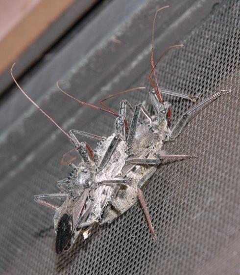 Trio of Wheel Bugs with Fungus? - Arilus cristatus - male - female
