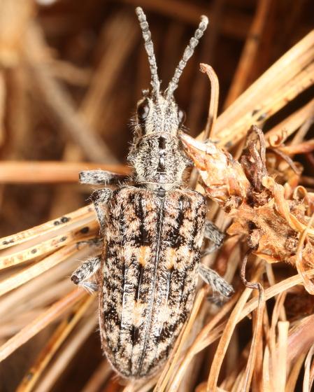 Mottled beetle - Rhagium inquisitor
