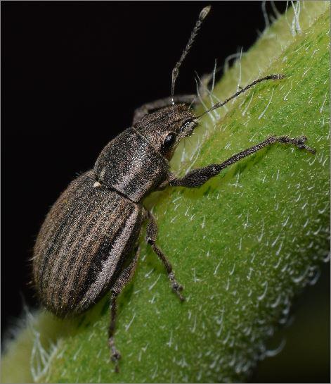 White-fringed Weevil - Naupactus leucoloma