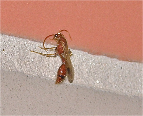 Small Red Wasp - Chyphotes