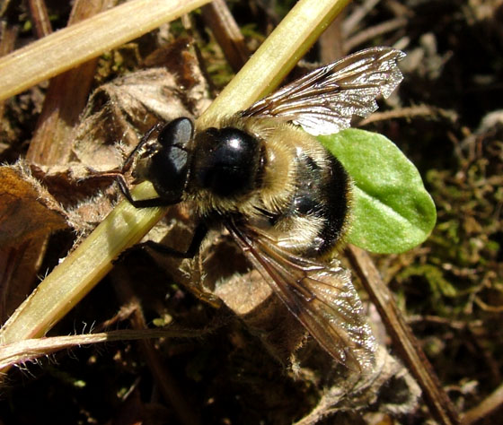 Syrphid - Volucella bombylans-complex - male