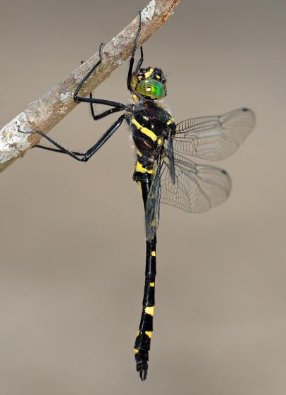 Macromia margarita - Mountain River Cruiser - Macromia margarita - male