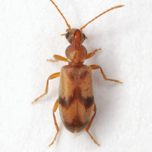 Notoxus photus Chandler - Notoxus photus - male