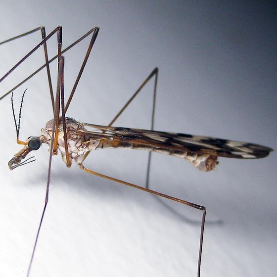 Tipula trivittata - male