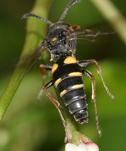 Sphecid wasp - Nysson plagiatus - male