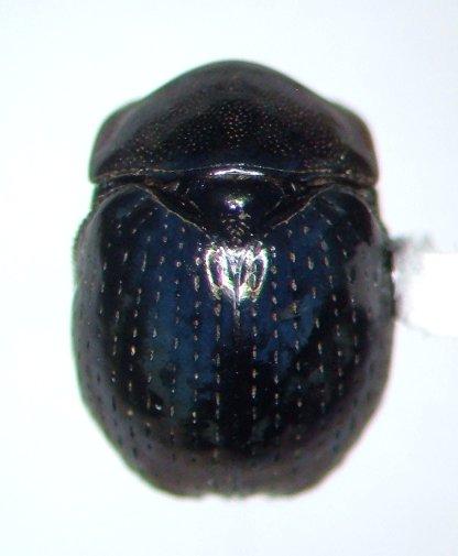 Germarostes globosus