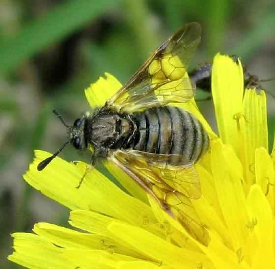 Cimbicidae 01a - Abia americana