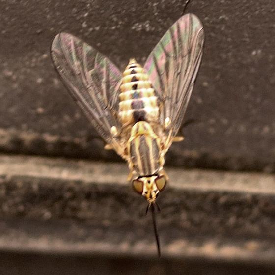 Fly - Neacreotrichus - female