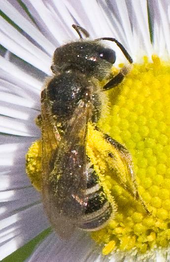 Sweat Bee - Halictus ligatus