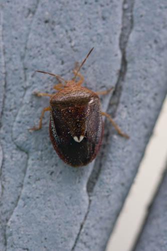 Beetle? - Ascra bifida