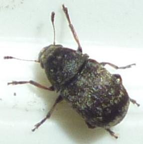 Coleoptera - Eusphyrus walshi