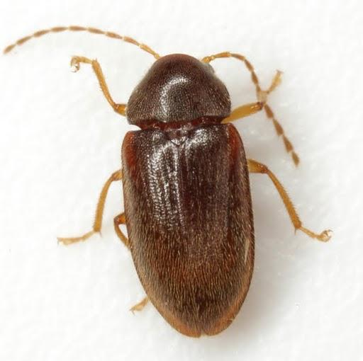 Ptilodactyla - female