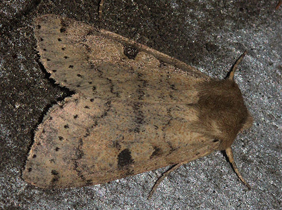Moth with a dotted line - Orthosia arthrolita