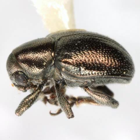 Graphops curtipennis (F. E. Melsheimer) - Graphops curtipennis