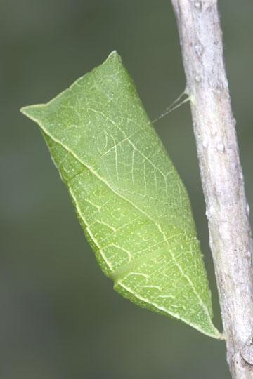Zebra Swallowtail - Pupa - Eurytides marcellus - female