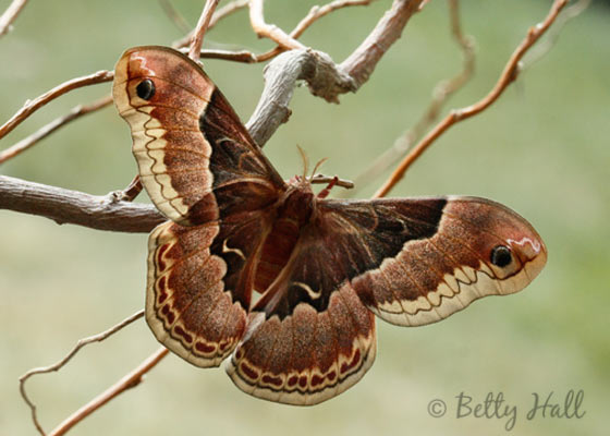 Female Promethea moth? - Callosamia promethea - female