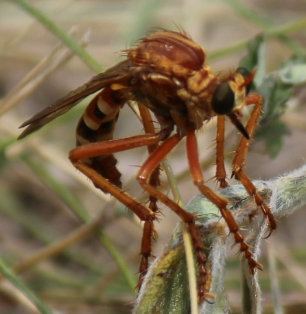 Fearsome looking wasp - Saropogon