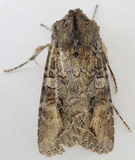Moth - Egira perlubens