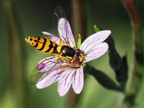 Syrphid Fly, Sphaerophoria sp - Sphaerophoria pyrrhina - female