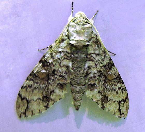 Arizona Moth - Manduca florestan
