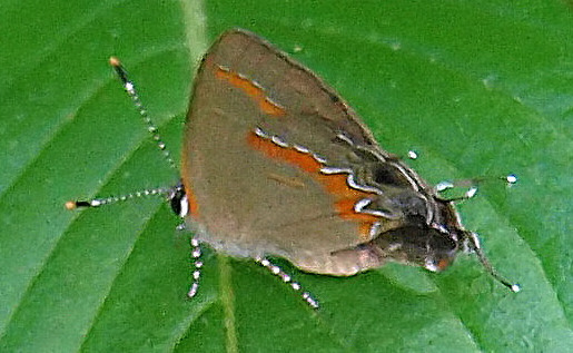 Is this a red-banded hairstreak? - Calycopis cecrops