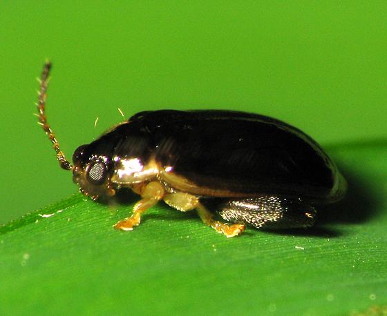 Little Beetle - Capraita obsidiana