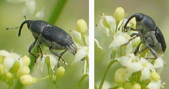 white-bellied black weevil - Odontocorynus umbellae