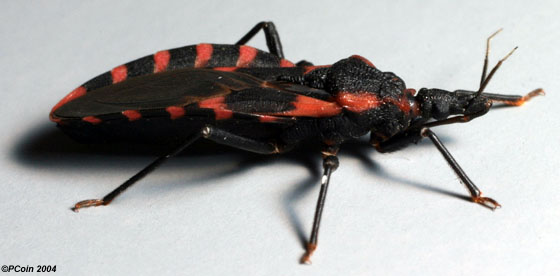 Eastern Blood-sucking Conenose - Triatoma sanguisuga