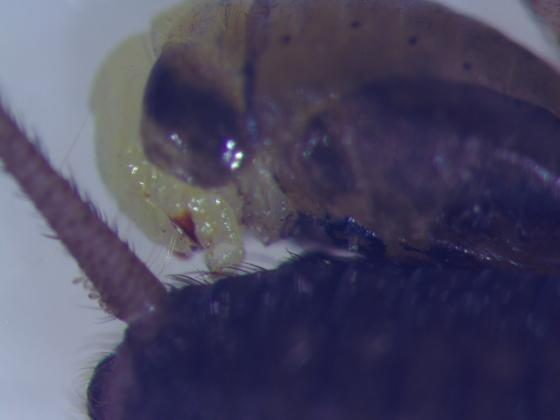 Rhopalosomatidae larva, 4th instar