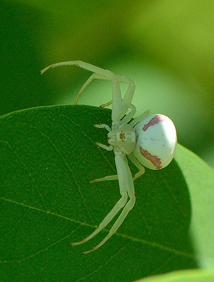 Spider - Misumena vatia