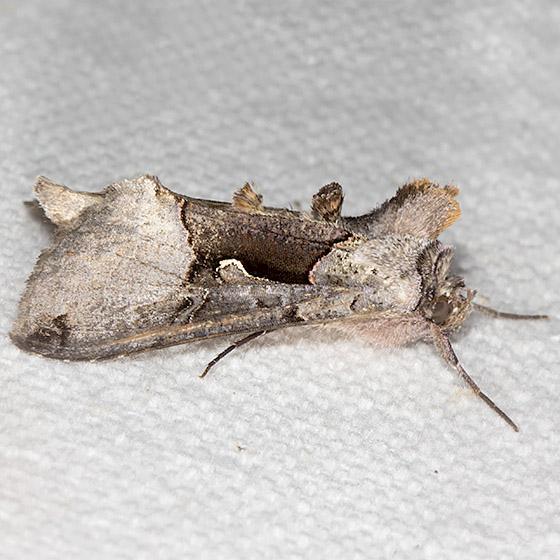 Large Looper Moth - Hodges#8923 - Autographa ampla