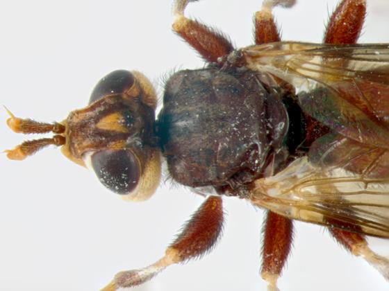 Conopidae, dorsal, head & thorax - Myopa