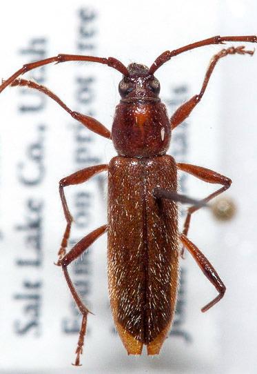 ? Stenosphenus debilis - Stenosphenus debilis - male