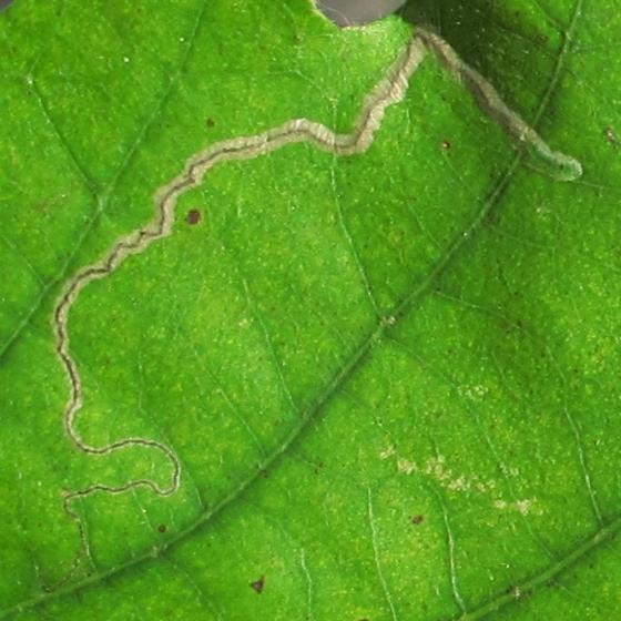 leaf mine in oak - Stigmella saginella