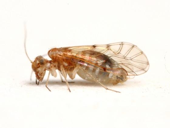 Lachesilla arida - female