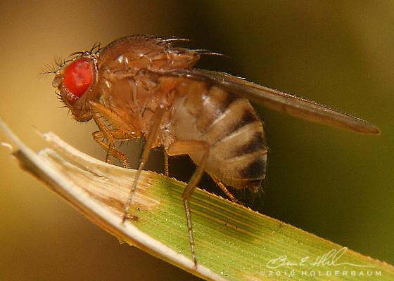 Vinegar Flies (Drosophilidae) ? - Drosophila immigrans - female
