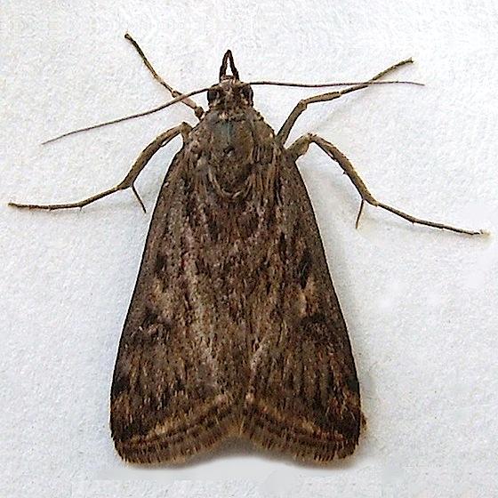 Alfalfa Webworm Moth - Loxostege commixtalis