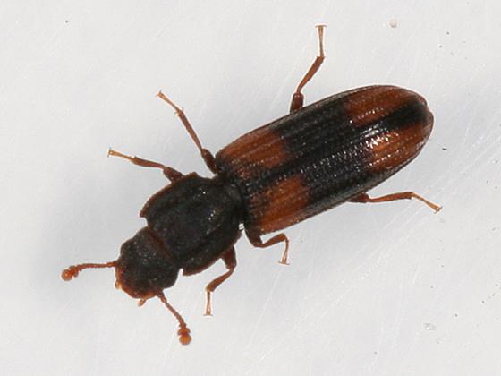Red and Black Beetle - Bitoma crenata