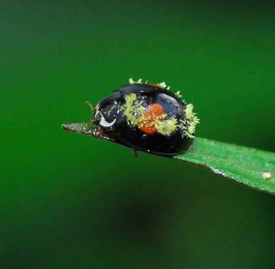 beetle - Olla v-nigrum