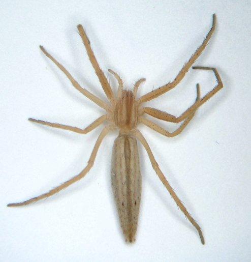 Tibellus  - Tibellus - female