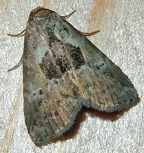 Black-patched Graylet Moth - Hyperstrotia secta