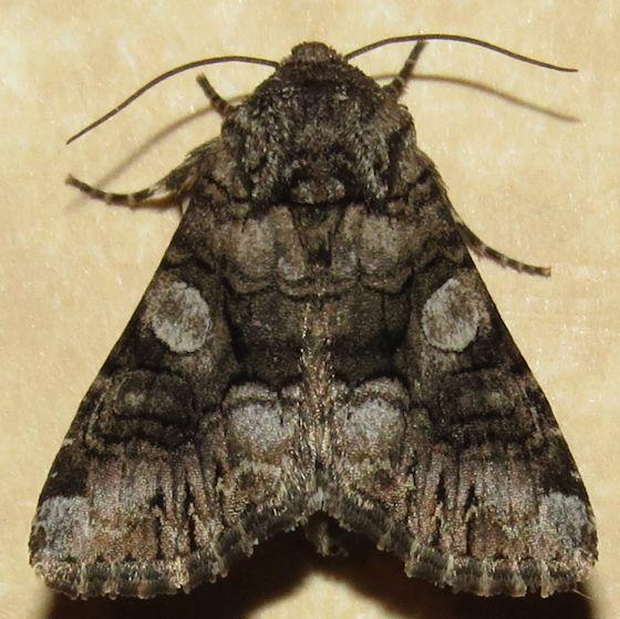 Capsule Moth - Hodges#10317 - Hadena capsularis
